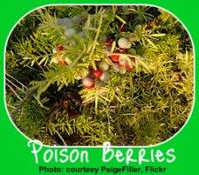 Poisonous Asparagus Fern Berries