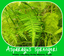 The Asparagus Fern