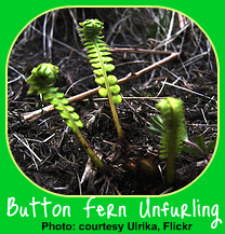 Button Fern Frond Unfurling