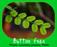 The Button Fern