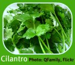 Cilantro from the Italian Herb Garden