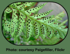 Black Spores - essential part of the Fern Life Cycle