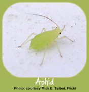 Aphids - Common Garden Pests