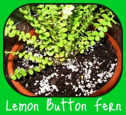 Nephrolepis Lemon Button Fern