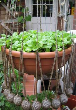 Basil In A Hanging Basket