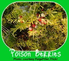 Poisonous Asparagus Fern Berries