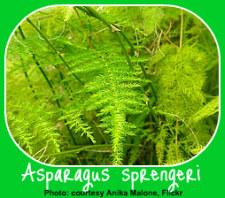 The Asparagus Fern