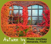 Vibrant ivy on buildings reflects garden calendar changes.