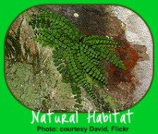 Button Fern in Natural Habitat