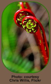 Red Fiddleheads in the Fern Life Cycle