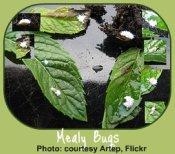 Mealybugs - common indoor garden pests