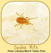 Spider Mites: common indoor garden pests