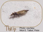 Thrips - common indoor garden pests