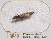 Thrips - common indoor garden pests