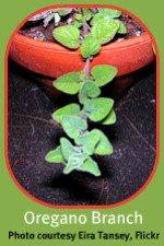 Italian Herb Garden Oregano