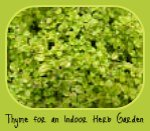 Thyme in the Italian Herb Garden